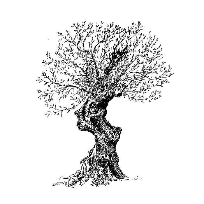 olive_oil_tree